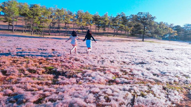 Dalat pink grass hill