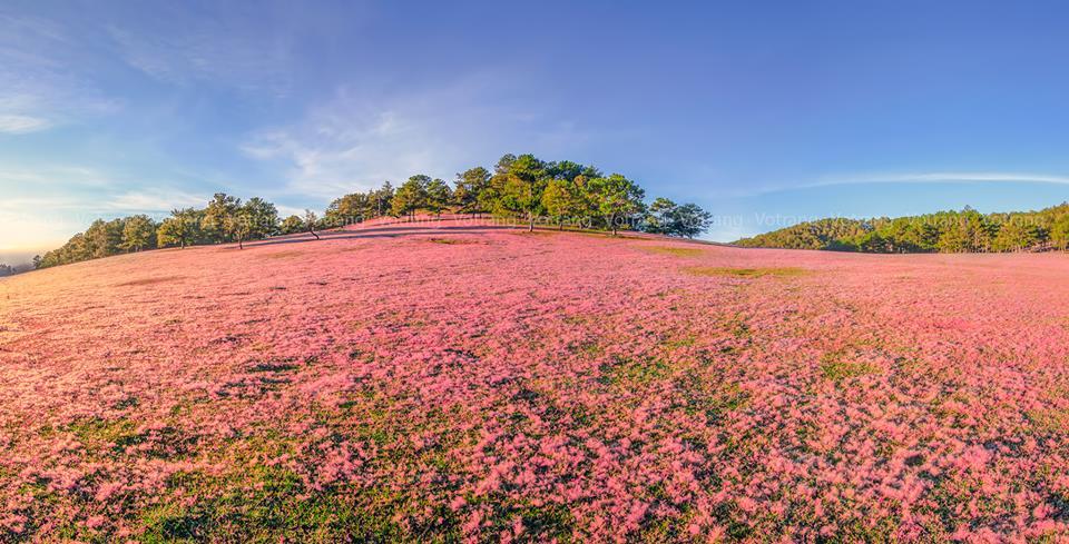 Pink grass hillside