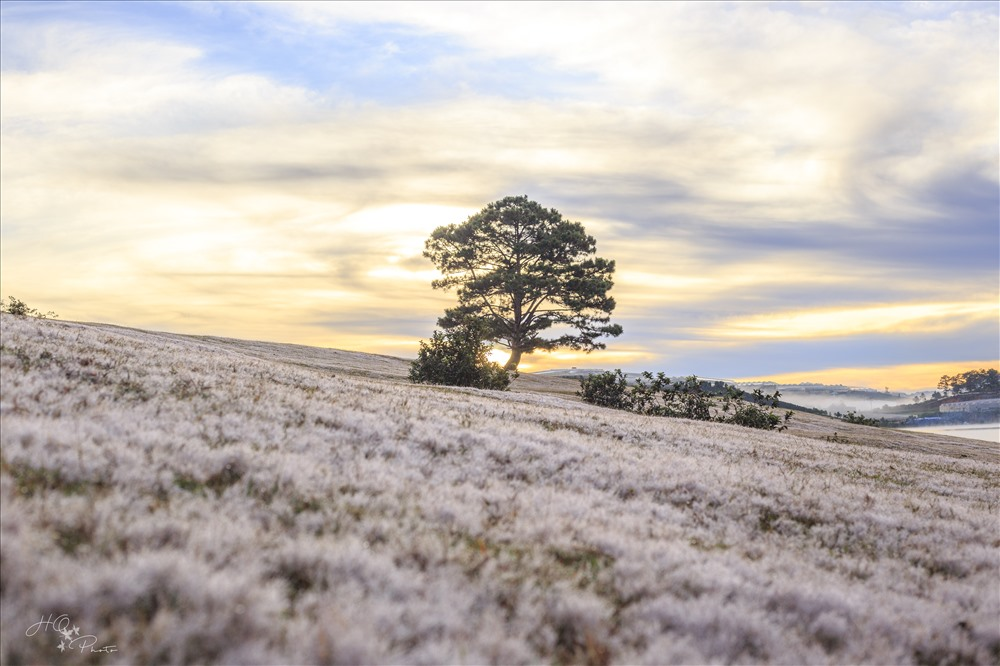 pink grass or snowy grass