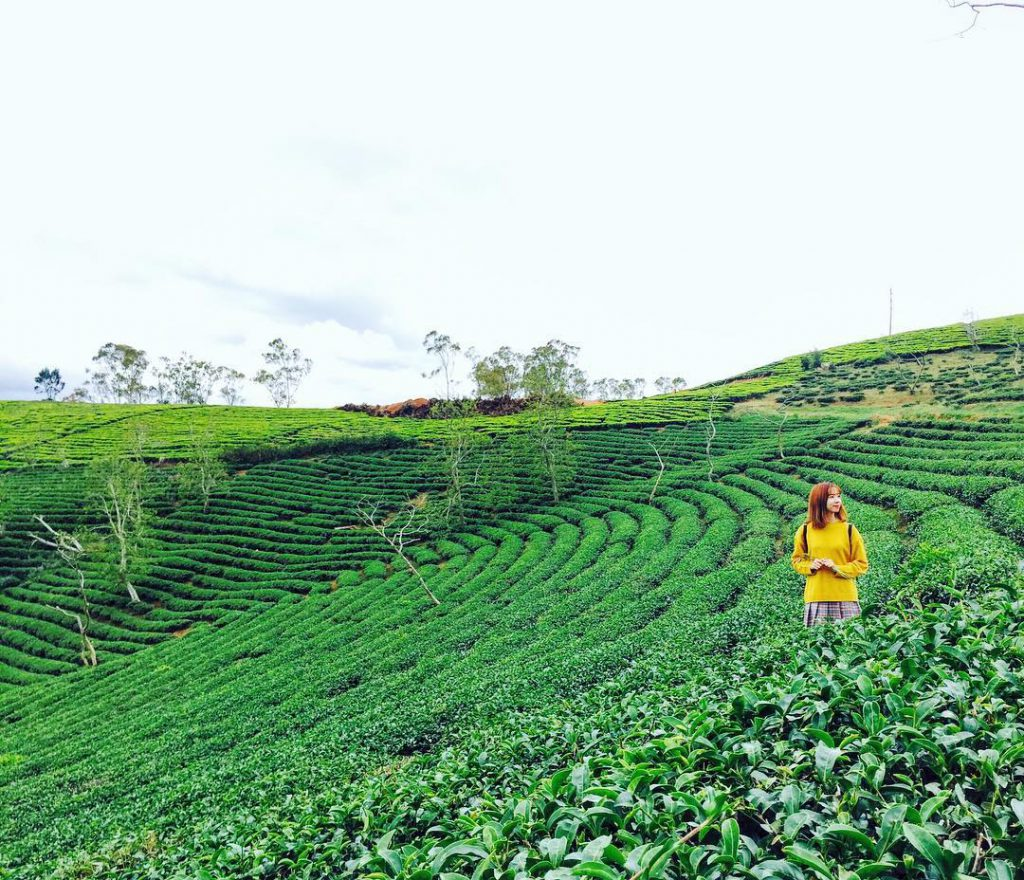 Tea hillside