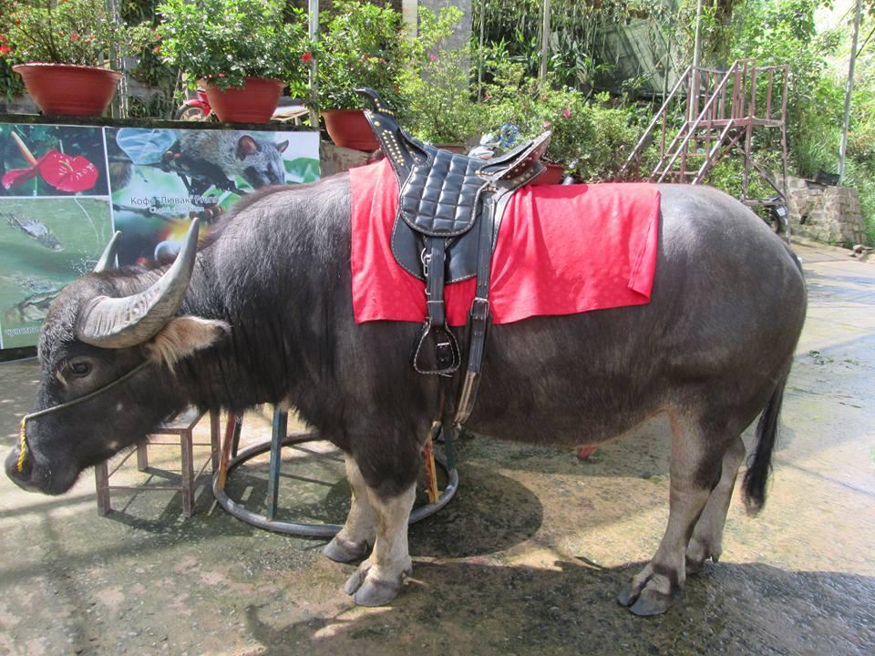 A big buffalo