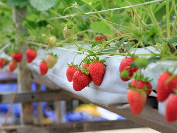 Strawberry garden